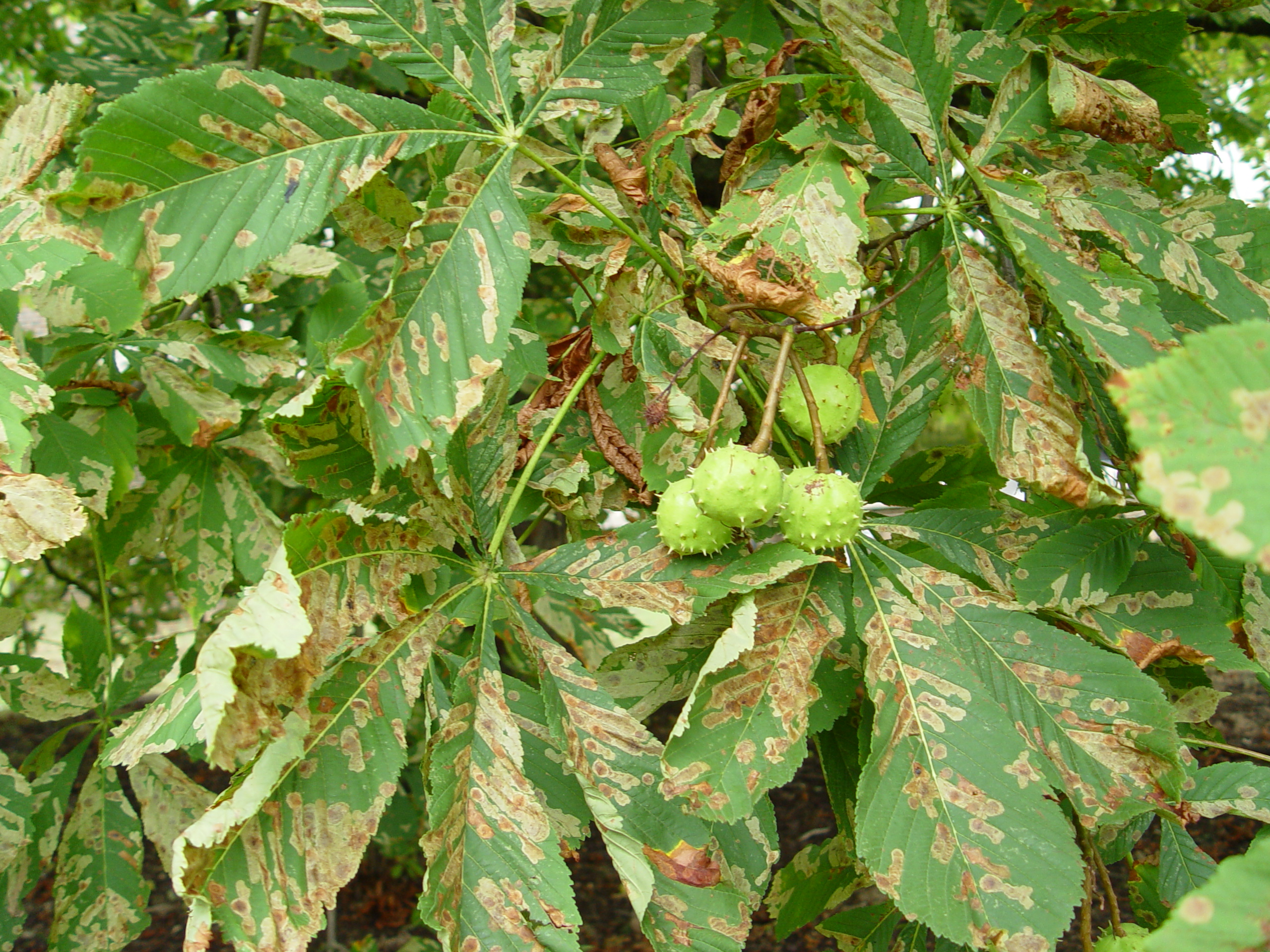 How to control horse chestnut leaf miner